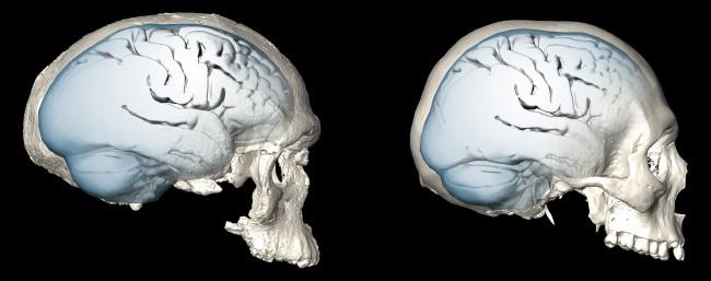 왼쪽은 모로코에서 발굴된, 현재까지 가장 오래된(31만 년 전) 현생인류 화석인 '제벨 이르후드 1호'의 뇌를 두개골 안쪽 구조를 바탕으로 복원한 것이고, 오른쪽은 3만5000년 전의 인류 뇌를 복원한 것이다. 초기에 납작하던 뇌가 후기로 올수록 정수리 뒤가 솟아올라 둥글어졌다. - 막스플랑크 진화인류학연구소 제공